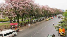 สวยงาม! 'ดอกชมพูพันธุ์ทิพย์' บานสะพรั่งใจกลางเมืองกรุง