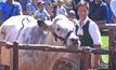 ประเพณีแข่งวัวในเยอรมนี