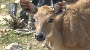 ฮือฮา! สวนสัตว์สงขลารับสมาชิกใหม่ 'ลูกนิลกาย' รูปร่างคล้ายวัวผสมกับม้า