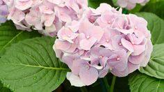 6 เคล็ดลับ วิธีดูแล และเปลี่ยนสีดอก ไฮเดรนเยีย ให้ดูงดงามอยู่เสมอ