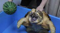 เสียวมือแปล๊บ! เต่าอัลลิเกเตอร์โหดที่สุดในโลก กัดแตงโมทั้งลูก พริบตาเดียวจริงๆ
