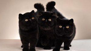 17 สิงหาคม วันยกย่องแมวดำ