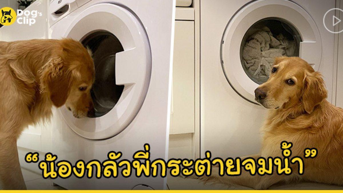 น้องหมาโกลเด้น พยายามงับที่ฝาเครื่องซักผ้า เพื่อช่วยชีวิตตุ๊ดตาเพื่อนรักที่กำลังถูกซักอยู่