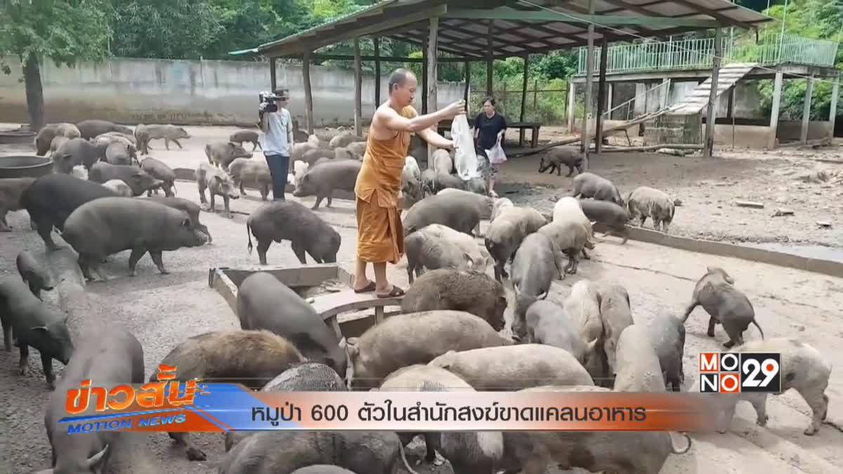 หมูป่า 600 ตัวในสำนักสงฆ์ขาดแคลนอาหาร