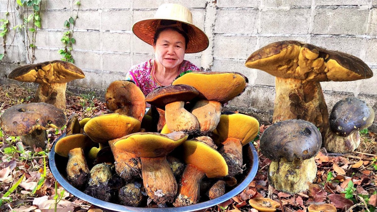 เก็บเห็ดตับเต่า เห็ดห้า เห็ดผึ้ง กิโลละ 300 บาท /Bolete mushrooms are cultivated in the farm.  农场里种着牛肝菌。