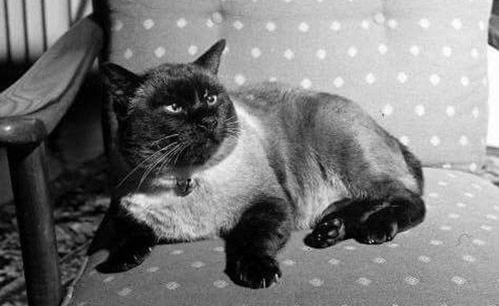 คุณติโต แมวทรงเลี้ยง ในพระเจ้าอยู่หัว รัชกาลที่ 9 ในปี พ.ศ. 2487