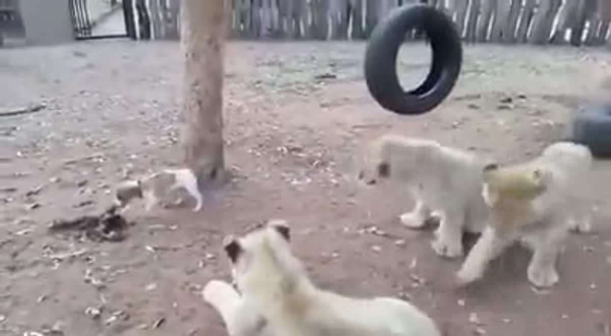 กลัวที่ไหน!! เจ้าตูบหวงเหยื่อ ไล่กัดลูกสิงโตวิ่งหนีกระเจิง