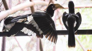 """""""วันแม่แห่งชาติ"""" สวนสัตว์ดุสิตเชิญชม 'นกแก๊ก' นกเงือกเล็กที่สุดในประเทศไทย"""