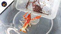 เทคนิคการให้อาหารไส้เดือนสดกับกุ้งที่เราเลี้ยงไสตล์korattv crayfish