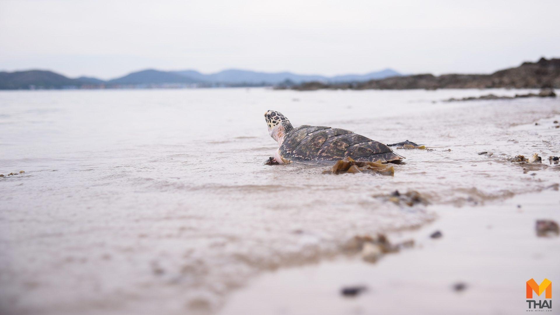 ปล่อยเต่าคือถิ่นทะเล เตรียมฟื้นฟูแหล่งท่องเที่ยวสัตหีบ