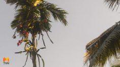 ฮือฮา! แก้วมังกรสุดแปลกโตบนต้นหมาก คอหวยไม่พลาดแห่ตีเลขเด็ด