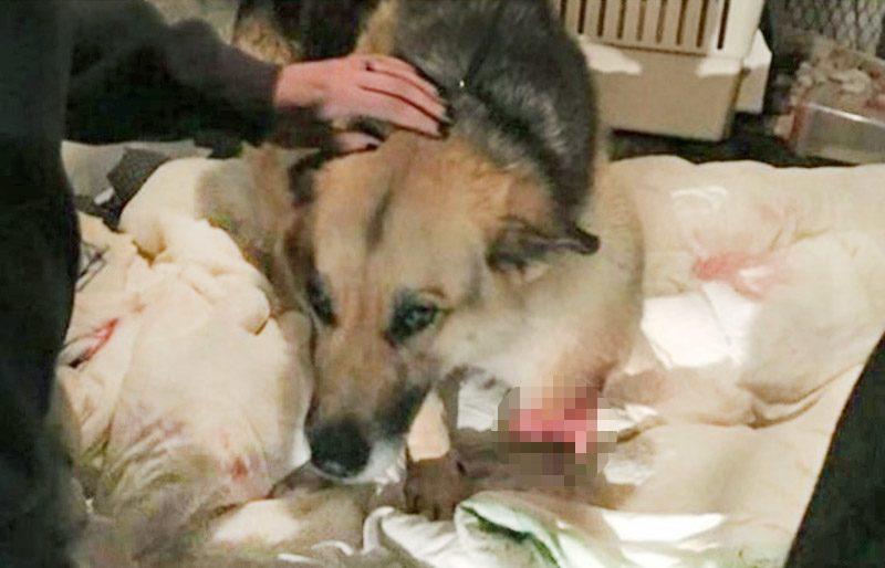 เศร้าใจ สุนัขถูกเจ้าของทารุณ จนหิวโซ ต้องกินขาตัวเองกันตาย!!