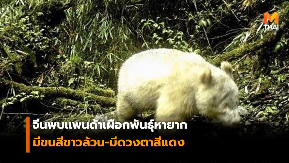 จีนพบแพนด้าเผือกพันธุ์หายาก มีขนสีขาวทั้งตัว และมีตาสีแดง