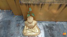 สุดแปลกแต่จริง!! ต้นโพธิ์ขึ้นบนเศียรพระพุทธรูปสิงห์ 1