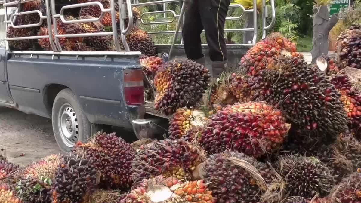 เกษตรกรสุดช้ำ!! ปาล์มราคาตกต่ำขีดสุดในรอบ 20 ปี