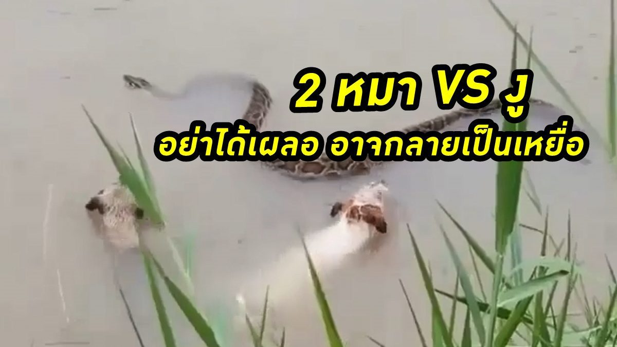 2 หมา VS งู อย่าได้เผลอ อาจกลายเป็นเหยื่อ สุดท้ายจะเป็นยังไง?