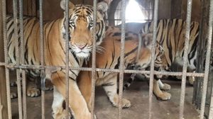 เศร้าใจ! เสือโคร่งจากวัดป่าหลวงตามหาบัวฯ ตายแล้วกว่า 80 ตัว