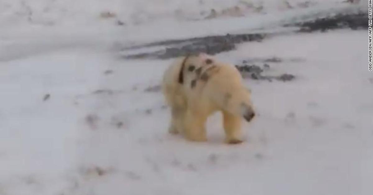 ผู้เชี่ยวชาญชี้หมีขั้วโลกถูกพ่นสีกราฟฟิตีที่ตัวอาจตายได้