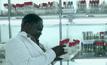 ยูกันดาพัฒนากล้วย GMO ต้านโรค