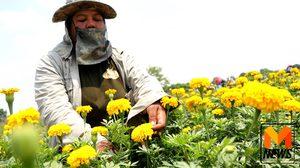 เกษตรกรเมืองปทุมฯพลิกแปลงนาปลูก 'ดาวเรือง' ยอดสั่งจองเพียบ
