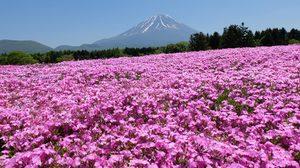 ทุ่งดอกชิบะซากุระ