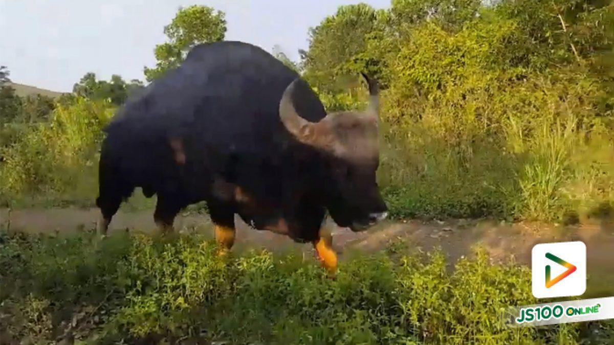 คลิป 'เจ้าทองดี'กระทิงเชื่อง เดินเล่นเล็มหญ้า ที่อ.วังน้ำเขียว จ.นครราชสีมา (10-05-61)