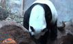 แพนด้าหลินฮุ่ยแท้งแล้ว หลังตั้งท้อง 148 วัน