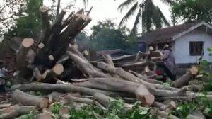 ฮือฮา! ต้นโพธิ์ ดีดตัวยืนต้น หลังถูกพายุพัดล้มเสียหาย