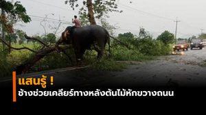 ช้างช่วยเคลียร์ทางกิ่งไม้หักขวางถนน ควาญเผยกระซิบบอก 'ช่วยหน่อยนะลูก'
