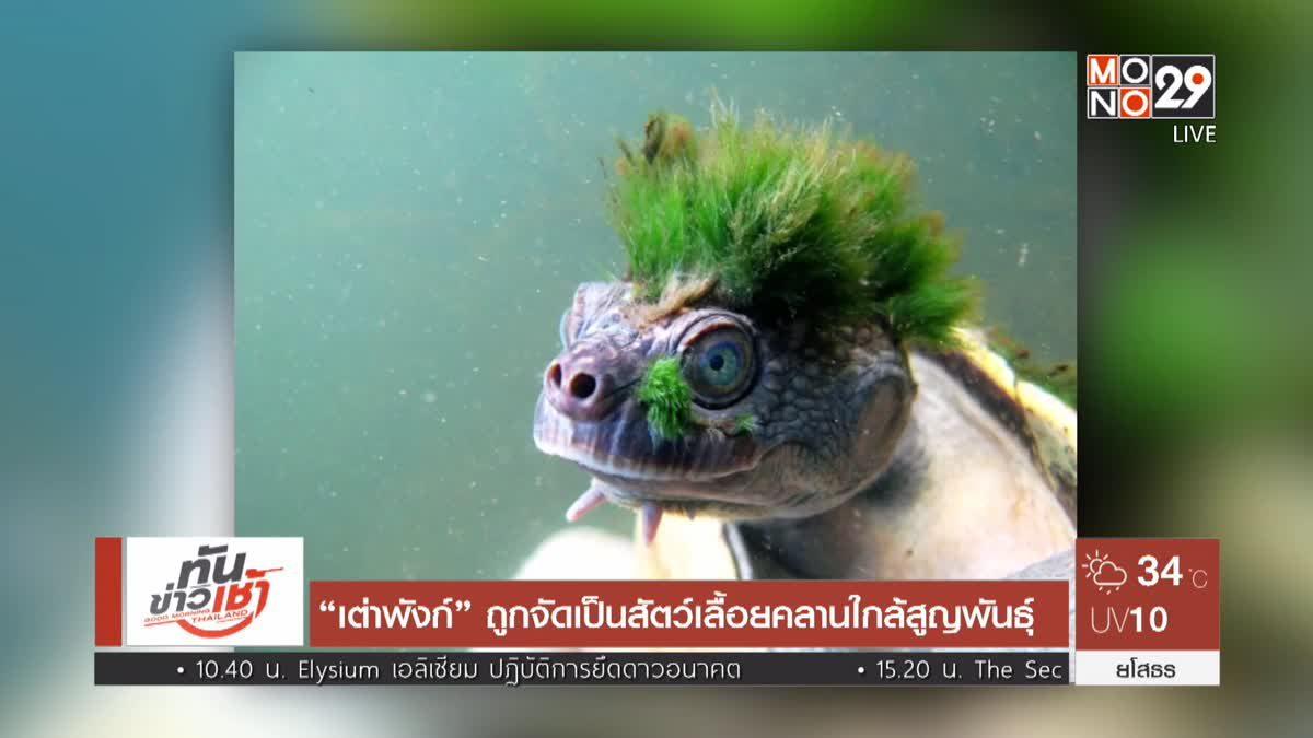 """""""เต่าพังก์"""" ถูกจัดเป็นสัตว์เลื้อยคลานใกล้สูญพันธุ์"""
