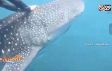 กลุ่มเจ็ทสกียอมรับผิดกรณีขี่หลังฉลามวาฬ
