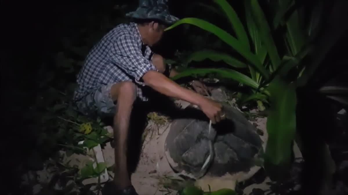 แม่เต่ากระโผล่ขึ้นวางไข่ 103 ฟอง ที่เกาะทะลุนับเป็นรังที่ 5 ของปีนี้