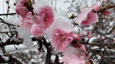 [รีวิว] เที่ยวญี่ปุ่น ในวันที่ซากุระบาน พร้อมหิมะตก ริมทะเลสาบ Kawaguchiko