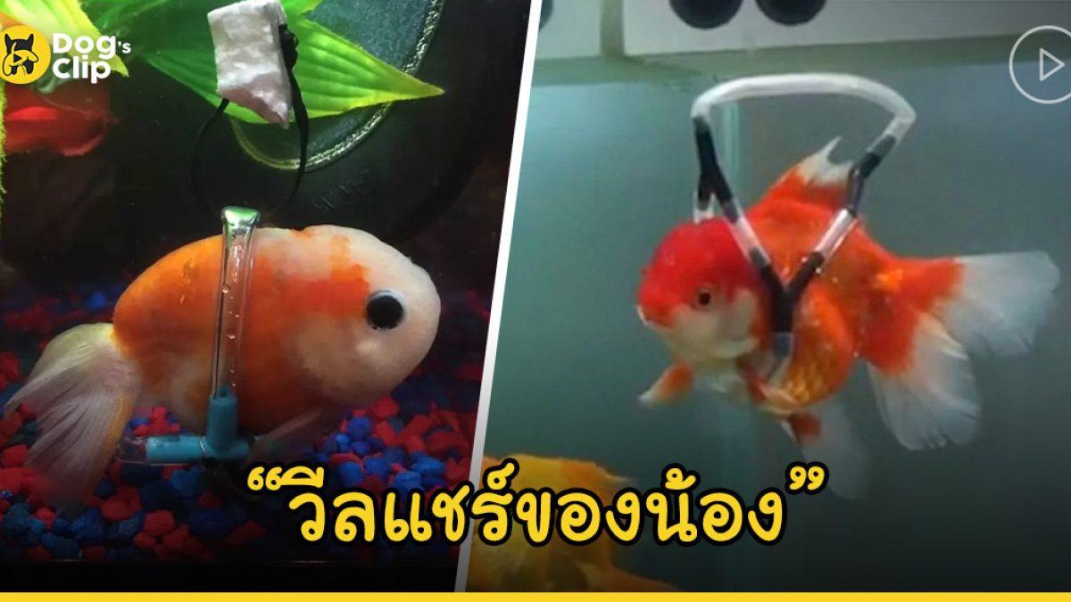 หนุ่มใจดีไอเดียเจ๋ง! สร้างวีลแชร์ให้ปลาทองกลับมาว่ายน้ำได้อีกครั้ง