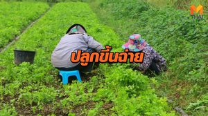 เกษตรกรผู้สูงอายุ ปลูกขึ้นฉ่ายขาย! สร้างรายได้วันละ 2 พัน ช่วงฤดูหนาว