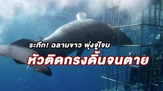 นาที ฉลามขาวยักษ์ พุ่งจู่โจมหัวนักท่องเที่ยวใต้น้ำ หัวติดกรงดิ้นจนตัวเองตาย