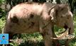 ช้างงาชี้ลงดินในมาเลเซีย