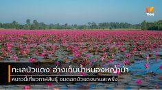 ทะเลบัวแดง อ่างเก็บน้ำหนองหญ้าม้า อวดดอกสีชมพูละลานตา ที่กาฬสินธุ์
