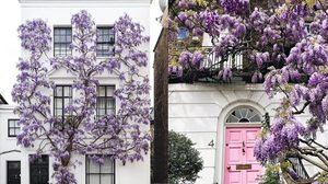 ดอกวิสทีเรีย สีม่วงสวยสะพรั่ง ที่กรุงลอนดอน อังกฤษ