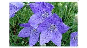 10 ดอกไม้สีม่วง น่าปลูกแต่งสวนสวยด้วยสีสัน