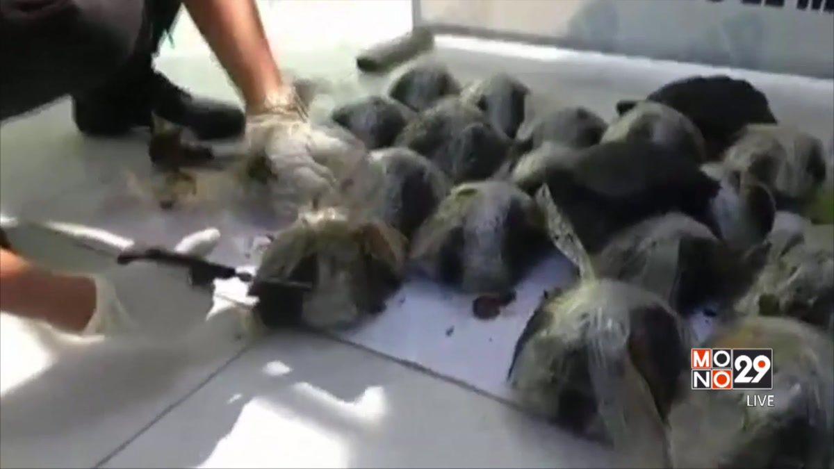 ช่วยเต่ากาลาปากอสใกล้สูญพันธุ์ในเปรู