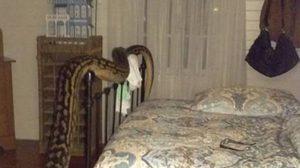 สาวออสซี่ผวากลางดึก งูเหลือมยักษ์โผล่เลื้อยในห้องนอน