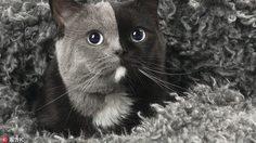 เลี้ยงหนึ่งได้ถึงสอง ภาพแมวทูโทนที่ฝรั่งเศส แบ่งสีได้เป๊ะลงตัว