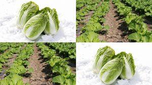 วิธีปลูกผักกาดขาว ไว้กินเองที่บ้าน ประหยัดงบ ปลอดสารพิษ