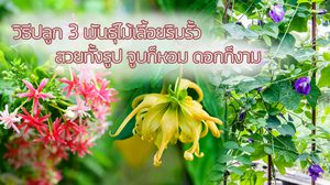 วิธีปลูก 3 พันธุ์ ดอกไม้ปลูกริมรั้ว ปลูกให้ร่มเงา สวยทั้งรูป กลิ่นก็หอม ดอกก็งาม