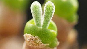ต้นหูกระต่าย พืชบวมน้ำ สายคิ้วท์ เลี้ยงง่าย แม้ในห้องขนาดเล็ก