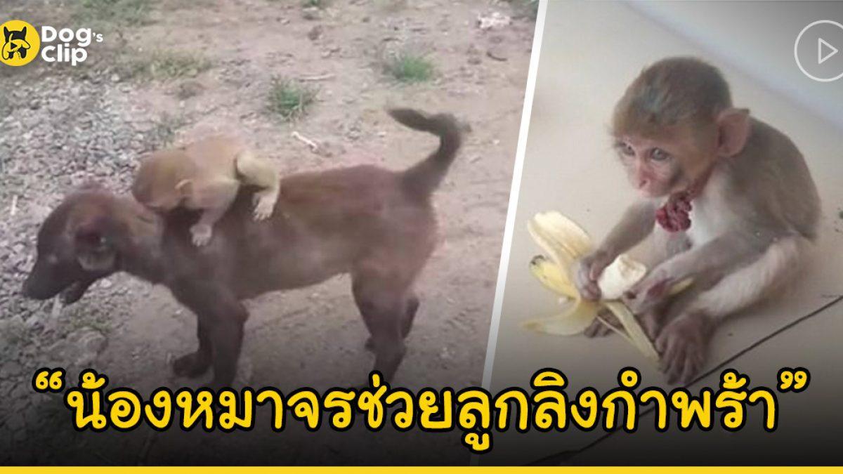 น้องหมาจรจัดช่วยลูกลิงน้อยกำพร้า โดยแบกขึ้นหลังแล้วพาไปสถานีตำรวจ