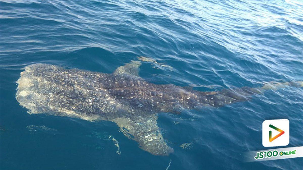 คลิปเจ้าฉลามวาฬว่ายน้ำเล่นกับชาวประมง อ.สัตหีบ จ.ชลบุรี (26-04-61)