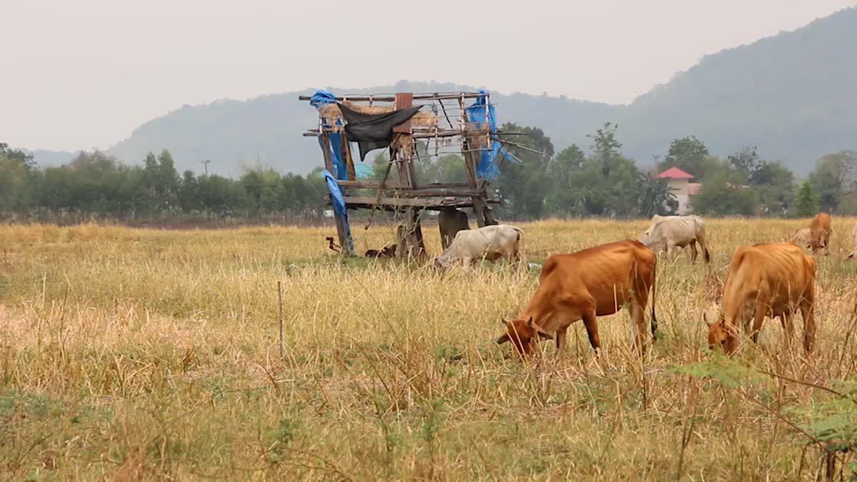 ร้อนจัด!! 'เขื่อนอุบลรัตน์' น้ำลดลงจนกลายเป็นที่เลี้ยงวัวของชาวบ้าน