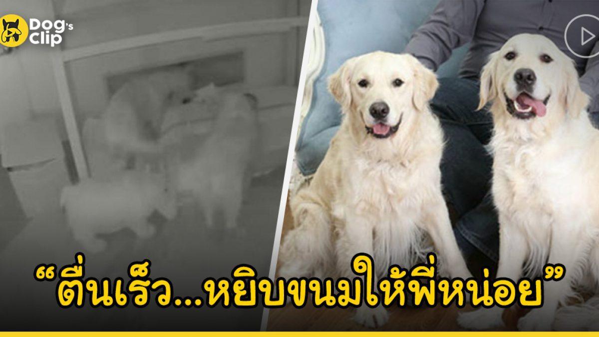 สองน้องหมาโกลเด้นจอมตะกละแอบเข้าไปปลุกนายน้อยกลางดึก เพื่อให้ช่วยหยิบขนมให้